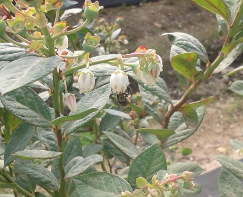A A-1 Honeybee busy pollinating a blueberry on one of the farms in the Western Cape - Contact A-1 Honey for Blueberry Pollination Services