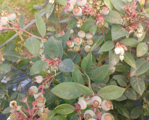 A healthy Blueberry plant in South Africa - A-1 Honey offer pollination services, contact us to find out more information on this service.