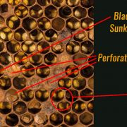 American Foulbrood - Paenibacillus larvae is a rod-shaped bacterium - A-1 Honey - Save the honeybee