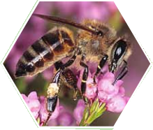 South African honeybee pollinating flowers - A-1 Honey