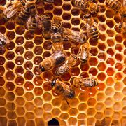 A-1 Honey produces raw Fynbos and Bloekom honey - Available for order in South Africa in bulk.