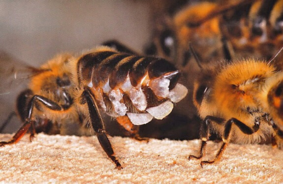 How do bees make wax? - Interesting facts about honeybees - A-1 Honey South Africa